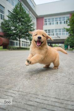 handsomedogs — Happy golden retriever baby  zhao hui
