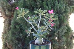 "Dawn's favorite bonsai imitation...  the ""Desert Rose"" adenium"