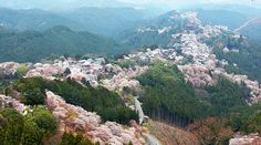.... yoshino - Japan's most famous cherry blossom spot. Besides an estimated 30,000 cherry trees, the area also offers a rich history and several temples and shrines.