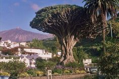 This Drago is on the island of Tenerife, Canary Islands. has almost 20 meters high and 8 in the base. the is 800 years old. Tenerife, Island Design, Island Beach, Canary Islands, Best Hotels, The Locals, Places To Visit, Draco, Travel Ideas