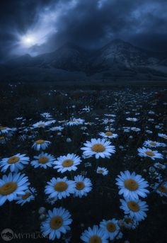The daisies Embrace II by Alessandro Taborri - Photo 172124351 / Best Landscape Photography, Nature Photography, Beautiful Nature Wallpaper, Beautiful Images, Pretty Pictures, Cool Photos, Scenic Wallpaper, Pretty Backgrounds, Night Photos
