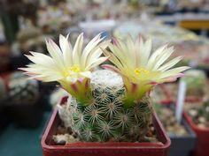 Kaktusy v regióne Vysoké Tatry a Spiš Cactus Flower, Plants, Flowers, Plant, Planets