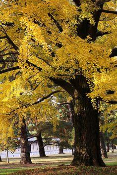 ['Ginkgo'   Jardín del palacio de Kyoto (Kyoto Gyoen), Kyoto, Japón. Noviembre de 2009] » Kyoto palace garden (Kyoto Gyoen), Japan. November, 2009