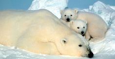 gezin ijsbeer