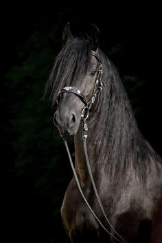Julia Moll » Friesian horse