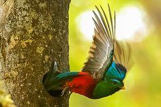 Resplendent Quetzal, pharomachrus mocinno by Peet van Schalkwyk, via Flickr