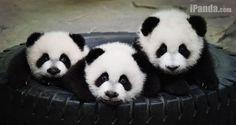 The panda triplets, named Ku Ku, Shuai Shuai and Meng Meng, at the Chimelong Safari Park in Guangzhou.