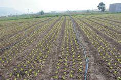 gieo cây mầm trên đồng ruộng