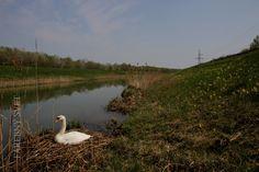 Hniezdenie labute