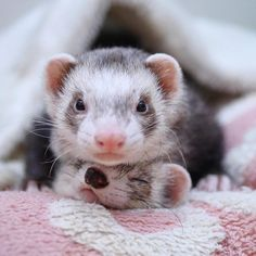 ʢ• ॰̫ •ʡຕ<ぼくめっちゃひなねーねのこと守るし〜みたいな(キリッ) #ferret #pet #petstagram #instaferret #ferretgram