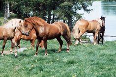 Mikä on Suomen kansalliskoira? Finland, Horses, Animals, Animales, Animaux, Animal, Animais, Horse