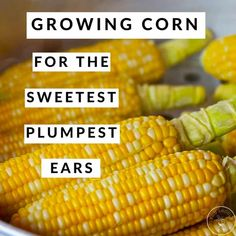 Growing Corn For The Sweetest, Plumpest Ears Home Grown Vegetables, Organic Vegetables, Growing Vegetables, Growing Plants, Growing Tomatoes, Organic Gardening, Gardening Tips, Vegetable Gardening, Veggie Gardens