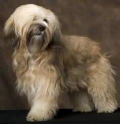 Tibetan Terrier dog art portraits, photographs, information and just plain fun. Also see how artist Kline draws his dog art Baby Dogs, Dogs And Puppies, I Love Dogs, Cute Dogs, Terrier Dogs, Terriers, Tibetan Terrier, Dog Varieties, Lhasa Apso
