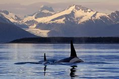 killer whale sunset - Google Search