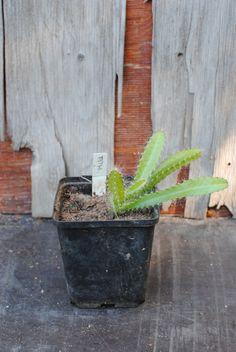 Trooppiset hyötykasvit huonekasveina | Puutarha-artikkelit Mango, Plants, Manga, Planters, Plant