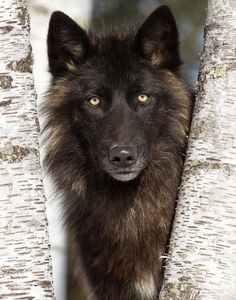 The Black wolf is a melanistic colour variant of the Gray wolf (Canis lupus). Wolf Images, Wolf Photos, Wolf Pictures, Animal Pictures, Wolf Spirit, Spirit Animal, Beautiful Creatures, Animals Beautiful, Feral Heart