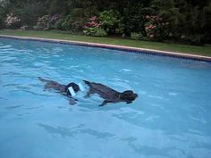 Portuguese water dogs are know for being great at swimming.