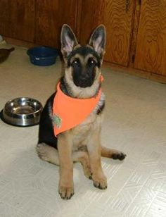 16 weeks old German Shepherd puppy Diesel: Diesel is really growing, he is 20 wks old now.  He loves it outside especially when he gets to play with his basketball, also loves his tennis balls,