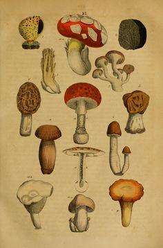 J. Gistel | Handbuch der Naturgeschichte aller drei Reiche, fur Lehrer and Lernende, fur Schule und Haus (1850)