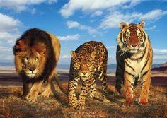 tiger | lgph0183+lion-leopard-tiger-wild-big-cats-poster