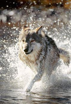 Finding Neverland | theanimaleffect: Gray Wolf Running Through Water...