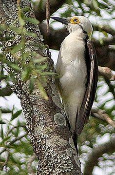 White Woodpecker. (Ron Knight) Native of the grasslands of Brazil, Bolivia, Paraguay, Uruguay & Argentina