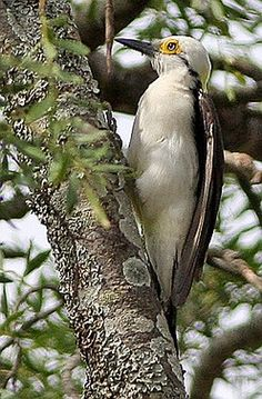 White Woodpecker. (Ron Knight) Native of the grasslands of Brazil, Bolivia, Paraguay, Uruguay & Argentina