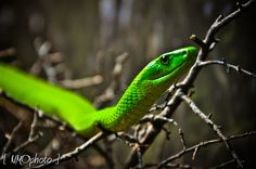 Green Mamba   Look out.