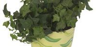How to Care for English Ivy Indoors great for bathrooms
