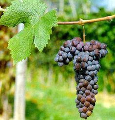 Indigenous to Italy's Piedmont region, Grignolino is only a minor red wine grape in its homeland, where it makes light red wines with characteristic herbaceous and floral aromas. http://www.snooth.com/varietal/grignolino/