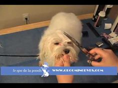 How To Trim Around The Eyes On A Maltese-Clean Hair From Eyes - YouTube