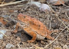 Horned frog squirts blood from its eyeballs : : Top 10 Craziest Animal Lifestyles in North America : Discovery Channel