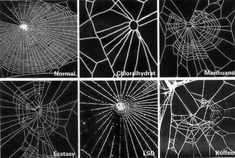 chaosophia218:  Effect of psychoactive drugs on spider's ability to build a web.In 1948, Swiss pharmacologist P. N. Witt started his research on the effect of drugs on spiders.Witt tested spiders with a range of psychoactive drugs, including amphetamine, mescaline, strychnine, LSD and caffeine.The spiders spun bizarre webs and Witt used different statistical tools and image processors to analyse them. The more toxic the chemical, the more deformed a web looks in comparison with a normal…