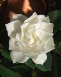 My favorite flower & essence Gardenia ❀