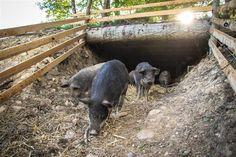 Freilandschweine am Biohof Ziegerhofer, Steiermark Rind, Goats, Animals, Free Range, Agriculture, Ideas, Animales, Animaux, Goat