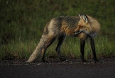 Foxy Lady by Marvil LaCroix on Capture Minnesota // Red Fox hunting along the highway.