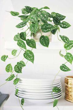 5-plantas-faceis-de-cuidar-para-voce-ter-em-casa-hera-variegata-1
