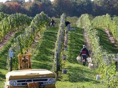 Grape Harvest Traverse City Wine Country