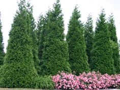 Thuja Green Giant, ornamental grass, knock out roses