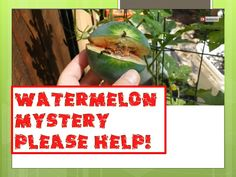 Watermelon Mystery - Gardeners Advice? Growing Watermelons Vertically up a Fence and ... http://www.youtube.com/watch?v=VqkHc9g2CYU&feature=youtu.be