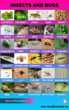List Of Insects, Bugs And Insects, English Vocabulary Words, English Grammar, Preschool Charts, Insect Identification, Pictures Of Insects, Plant Bugs, Alphabet Pictures