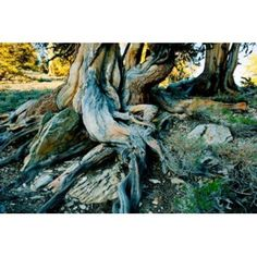 Bristlecone pine grove at Ancient Bristlecone Pine Forest White Mountains California USA Canvas Art - Panoramic Images (36 x 24)