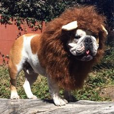 The major breeds of bulldogs are English bulldog, American bulldog, and French bulldog. The bulldog has a broad shoulder which matches with the head. Bulldog Puppies, Cute Puppies, Cute Bulldogs, Dog Facts, French Bulldog, English Bulldogs, Best Dogs, Fur Babies, Handsome