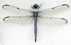 Image from https://dragonflywoman.files.wordpress.com/2010/09/libellula-vibrans-male.jpg.