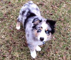Our sweet Australian Shepherd puppy! Blue Merle