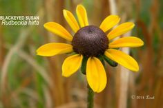 BLACKEYED SUSAN (Rudbeckia hirta) | What Florida Native Plant Is Blooming Today?™ 0114
