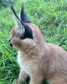 Cute Little Animals, Cute Funny Animals, Cute Cats, Caracal Kittens, Cats And Kittens, Big Cats, Cute Animal Videos, Cute Videos, Videos Funny