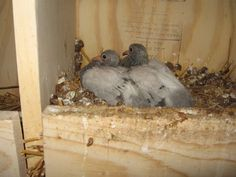 our squeakers, baby pigeons