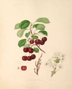 William Hooker -- The Morello Cherry -- William Hooker -- Artists -- RHS Prints