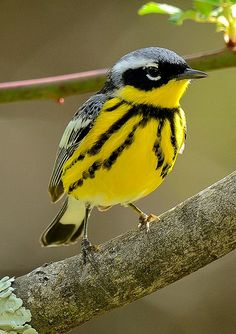 Magnolia Warbler (Setophaga magnolia). A migratory songbird breeding in Canada and the Northern United States